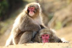 Snow monkey (Teruhide Tomori) Tags: wild japan japon kyoto animal monkey snowmonkey ニホンザル arashiyama iwatayama 野生 動物 京都 日本 嵐山 nature