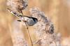Long-tailed tit (Andrew_Leggett) Tags: longtailedtit aegithaloscaudatus bird acrobat reed reedbed stem winter rspboldmoor andrewleggett