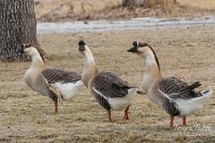 Trio of Swan Geese