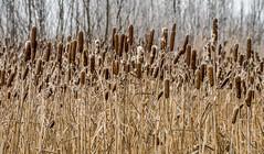 Rübke - Winterlandschaft 4 (Pana53) Tags: photographedbypana53 pana53 naturfoto naturundlandschaftsfotografie naturfotografie jahreszeit wintertime winter winterlandschaft winterlandscape rübke bäume pflanzen natur wiesen felder nikon nikond810 raureif eis frost kälte outdoor landschaft feld pflanze reetkolben