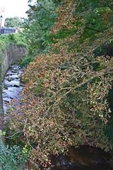 2012.09.03.064 RIBEAUVILLE - La Strenbach (alainmichot93 (Bonjour à tous - Hello everyone)) Tags: 2012 france alsace hautrhin ribeauville architecture rivière eau water