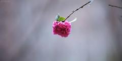 一點紅 (M.K. Design) Tags: taiwan puli flowers red rain nikon d800e hdr nature afs 105mmf14e ed bokeh macro micro 台灣 埔里 茶花 紅 尼康 自然 植物 淺景深 散景 定焦 壓縮 微距 雨天 高動態範圍