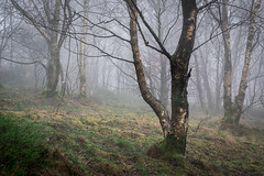 Shire Hill Woods (Tim Allott) Tags: misty branches trunks birchtrees woodland peakdistrictnationalpark glossop mist forest woods shirehill