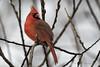Northern Cardinal / Cardinal rouge / Cardinalis cardinalis (FRITSCHI PHOTOGRAPHY) Tags: northerncardinal cardinalrouge cardinaliscardinalis jardinbotaniquedemontréal montrealbotanicalgarden