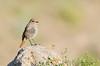 Redstart (Esmaeel Bagherian) Tags: پرندگانایران پرندگان پرندهنگری پرنده پرندگانهزارمسجد اسماعیلباقریان حیاتوحشایران نیکون تامرون 1395 2016 دمسرخ esmaeelbagherian redstart bird birds birdsofiran birdwatching nikond7000 nikon tamron tamron150600