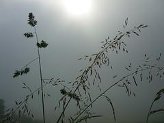 taufrisch (Jörg Paul Kaspari) Tags: sirzenich wiese meadow nass wet feucht drop drops tau wiesentau dactylisglomerata dactylis glomerata wiesenknäulgras gras grass taufrisch
