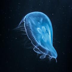 IMG_0406 - web (Don Jeremiah) Tags: méduse aquariumdeparis