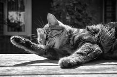 Sweetpea (M J Adamson) Tags: cats pets furchildren sweetpea nz newzealand