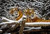 Sibirische Tiger (Roman Achrainer) Tags: tiger sibirischetiger jegor ahimsa hellabrunn tierpark zoo raubtier katzen winter schnee achrainer münchen
