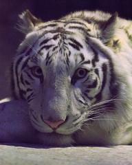 Apollo ♂ - Now It's Dark (Belteshazzar (AKA Harimau Kayu)) Tags: apollo tiger zoo animal bigcat bigcats feline bengaltiger pantheratigristigris königstiger indischertiger eltigredebengala tigredubengale latigrerealedelbengala бенгальскийтигр 孟加拉虎 whitetiger weisertiger tigreblanco tigreblancroyal белыйтигр 孟加拉白虎 zooshot tobu tobuzoo snowwhite mirrormirror babytiger baby kid keddo