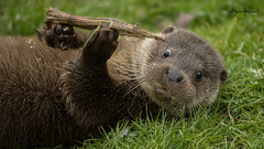 European Otter Pup (Robert (Bob) Howell) Tags: red snow otter pup stare animal side young water play grass bank face expresion