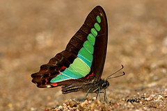 Graphium sarpedon - the Common Bluebottle (BugsAlive) Tags: butterfly mariposa papillon farfalla schmetterling бабочка conbướm ผีเสื้อ animal outdoor insects insect lepidoptera macro nature papilionidae graphiumsarpedon commonbluebottle papilioninae wildlife doisutheppuinp chiangmai liveinsects thailand thailandbutterflies ผีเสื้อสะพายฟ้า