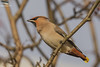 Waxwing, Staffordshire (Mick Erwin) Tags: waxwing nikon afs 600mm f4e fl ed vr lens d810 mick erwin stoke trent staffordshire wildlife nature