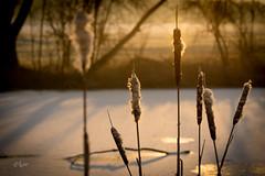 2017 Frozen lake (jeho75) Tags: sony ilce 7m2 g tele deutschland germany see lake winter frozen gefroren morgenlicht morning light golden