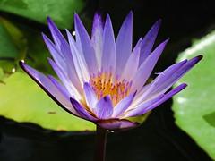 bright purple light (oneroadlucky) Tags: nature plant flower purple lotus waterlily