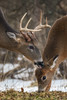 A Kiss Is Just A Kiss (jmishefske) Tags: wisconsin wildlife january 2017 nikon whitetail halescorners rack d500 park doe whitnall milwaukee antler deer buck