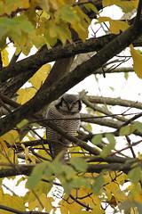 Sperweruil - Surnia ulula - Northern Hawk Owl (merijnloeve) Tags: sperweruil surnia ulula northern hawk owl rarity holland netherlands zwolle dutchbirding dutch birding vogels kijken uil zeldzaam