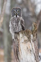 La chouette Lapone de l'île St-Bernard / Great gray owl (Roy Yves) Tags: chouettelapone greatgrayowl yvesroy lapone