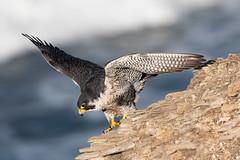 Wings Out (Patricia Ware) Tags: california canon ef400mmf4doisiiusmlens falcoperegrinus handheld pacificocean palosverdespeninsula peregrinefalcon unitedstates us specanimal