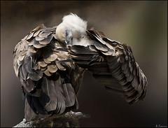 Bajo el ala. (antoniocamero21) Tags: ave carroñero buitre color foto sony retrato
