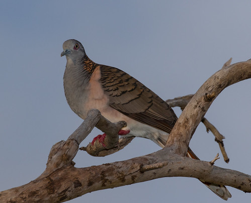 Bar-Shouldered Dove (Geopelia humeralis) (28 centimetres)