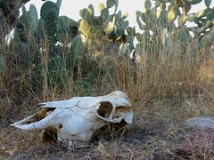 """de cerca la muerte me miró"" (carlos mancilla) Tags: vacamuerta bones huesos cráneo skull olympussp570uz"