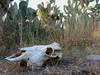 """""""de cerca la muerte me miró"""" (carlos mancilla) Tags: vacamuerta bones huesos cráneo skull olympussp570uz deadcow"""