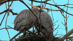 Hugging Herons (Michelle de Vries) Tags: hug hugging great ble heron bird nature wildlife nest tree cowichanbay canon sigma sigma150600
