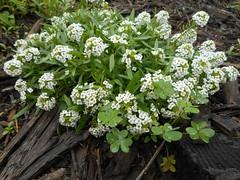 Lobularia maritima  (L.) Desv.  Brassicaceae-sweet alyssum (SierraSunrise) Tags: alyssum california centralcoast flowers morrobay plants sanluisobispocounty usa white brassicaceae