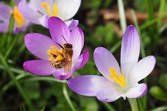 A honey bee working on a Crocus flower in my garden in 2017. (Bienenwabe) Tags: honeybee bee biene honigbiene apis apismellifera apiaceae crocusflower flower flowermacro crocus crocuscultivar iridaceae pollen pollenbasket yellowpollen krokus