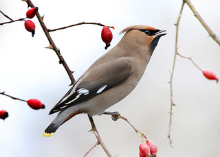Waxwing ANR 10th March 2017
