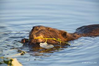 Beaver, Anchorage, Alaska