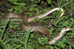 Indian cobra (Naja naja) (cowyeow) Tags: india nature dangerous cobra reptile snake wildlife indian maharashtra snakes pune herp herps venomous venom herpetology naja herping indiancobra najanaja