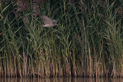 Sparrowhawk and reeds (Andrew_Leggett) Tags: water reeds inflight birdofprey sparrowhawk reedbed accipiternisus inexplore andrewleggett