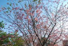 Dia das Cerejeiras em Flor (Gilmar Hermes) Tags: flowers brazil flores flower fleur brasil fleurs de cherry sopaulo flor blossoms blumen agosto sampa sp fiori  blume blomst brasile sanpablo sudamerica amricadosul cerejeiras carmo floro cerezo brazili 2015 amriquedusud zuidamerika  amricadelsur sdamerika parquedocarmo southamrica floroj sydamerika brazilo anbhrasal brazilija   ubax   amricadelsud   sudameriko pietamerika  meiricetheas   sramerikaamerica sudbrazilia diadascerejeirasemflor daycherryblossoms dadelasfloresdecerezo jourcherryblossoms