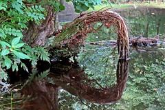 Tree Roots (Craig Hannah) Tags: autumn reflection tree canal root tameside huddersfieldcanal heyrod craighannah