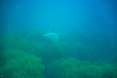 20150829-DSC_9445.jpg (d3_plus) Tags: sea sky fish beach japan scenery underwater diving snorkeling  seaturtle shizuoka    apnea izu j4  waterproofcase    skindiving minamiizu        nikon1 hirizo  1030mm  nakagi 1  nikon1j4 1nikkorvr1030mmf3556pdzoom beachhirizo misakafishingport  1030mmpd nikonwpn3 wpn3