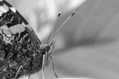 Beautiful Butterfly B&W (Tom Zander) Tags: old bw white black macro nature beautiful beauty animal vintage butterfly insect nikon close natur retro sw nah monochrom nikkor makro tamron 90mm insekt weiss f28 schwarz nahaufnahme tier closer schmetterling flgel weis fhler nher