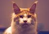 IMG_7023a_c (JANY FEDERICO GIOVANNINETTI) Tags: hairy cats cat hair eyes funny soft sweet expressions occhi international felini gatto gatti divertenti pelosi pelo dolci pedigree internazionale sguardi espressioni razza soffice soffici
