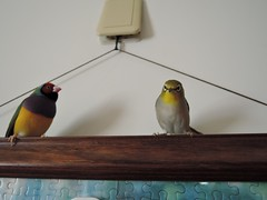 DSCN9780 (Jenny Yang) Tags: pet bird lady finch gouldian