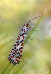 Reina por excelencia (- JAM -) Tags: naturaleza flower macro nature insect nikon flor explore jam mariposas d800 insecto macrofotografia explored lepidopteros juanadradas