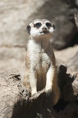 IMGP6677 meerkat on alert (Abhiks) Tags: cute animals zoo meerkat turtle fluffy lemur sales dubbo