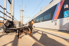 The Man In Charge (sullivan1985) Tags: railroad november dog train puppy newjersey afternoon linden nj dachshund amtrak njtransit njt northeastcorridor borys amtk