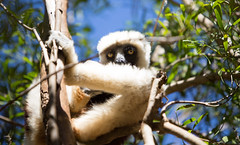 LEMUR-PARK-27 (RAFFI YOUREDJIAN PHOTOGRAPHY) Tags: park city travel trees plants baby white cute green animal fauna canon river jumping sweet turtle wildlife bricks mother adorable adventure explore lemur 5d lemurs bushes madagascar 70200 antananarivo mkiii