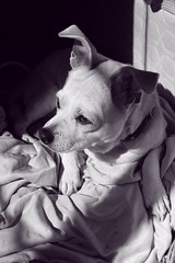 _MG_8179 (mariscissorhands) Tags: blackandwhite dog pet pets blancoynegro animal animals perro doggy mascota