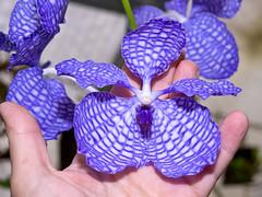 vanda coerulea (Eerika Schulz) Tags: orchid orchids vanda orchidee orchideen coerulea