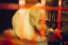20151113-Em5-42.5mm-PB131535 (Eternal-Ray) Tags: leica cat power olympus panasonic chinchilla asph dg  omd f12 ois em5  425mm nocticron
