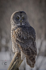 Chouette lapone / Great gray owl (partagez tout en s'amusant) Tags: canada nature birds outdoor wildlife québec ornithology oiseau oiseaux pleinair eule rapace 2015 beauport ornithologie strigidés