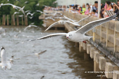 (jadezy) Tags: seagull bangpu