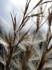 11.7.08 (sunshadows) Tags: macro grass austin explore alameda awn inmygarden naturesfinest 2011 abigfave allrightsreserved littlezebramaidengrass mjba copyrightreserved